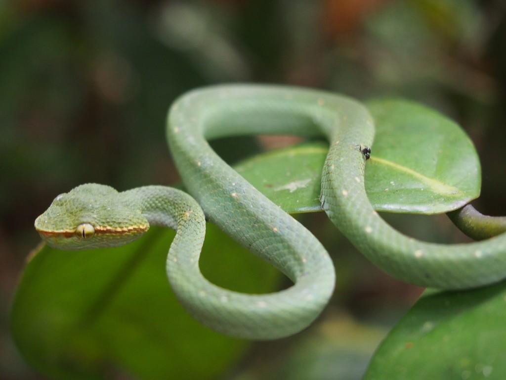 Bornean Pit Viper