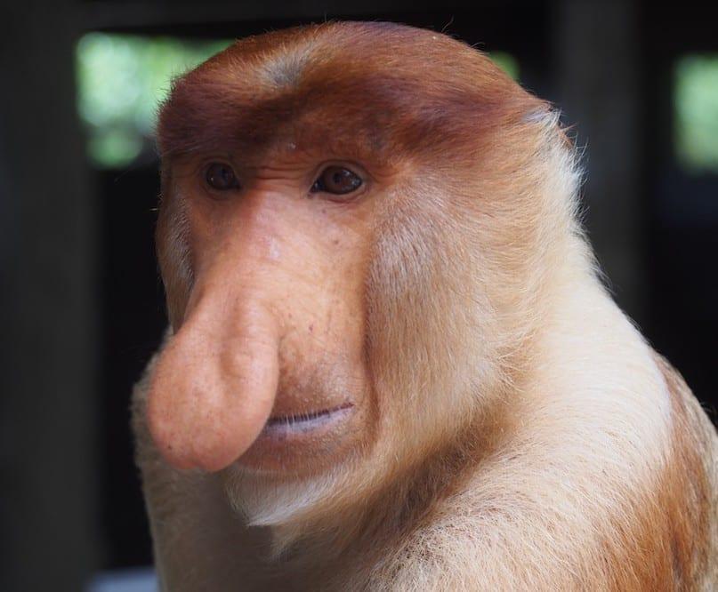 Labuk Bay Proboscis Monkeys: Borneo's Big Attraction