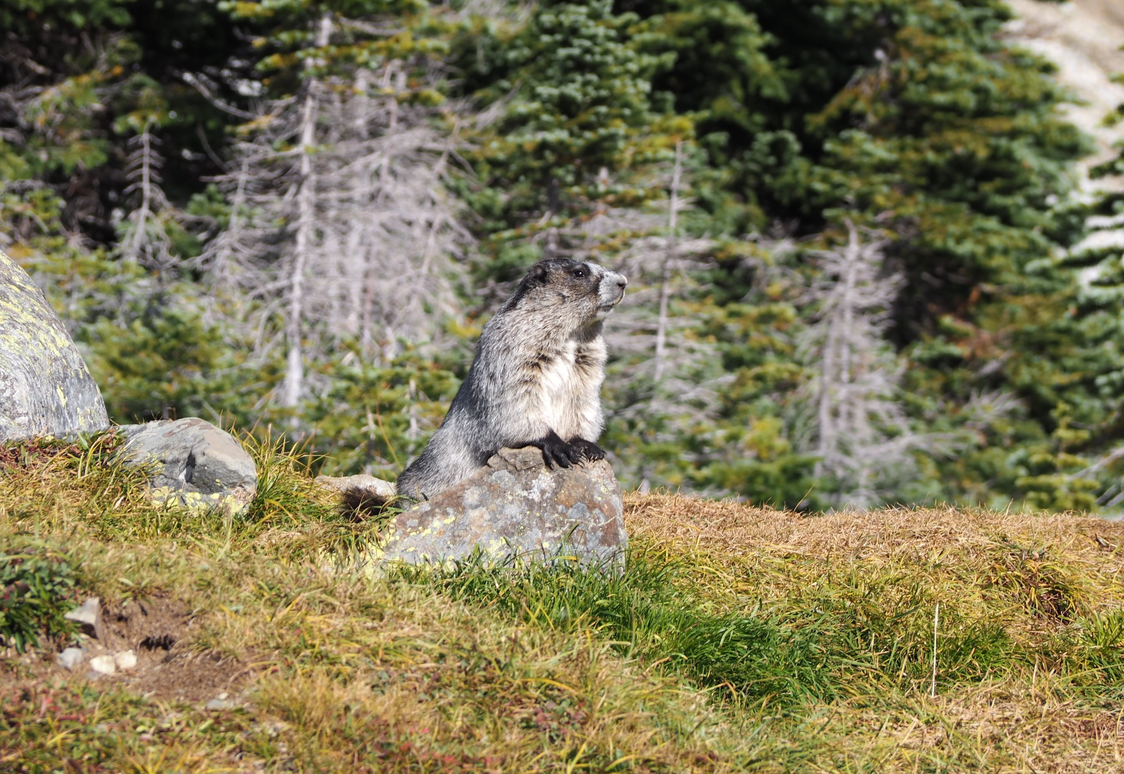 Wildlife at Panorama Ridge