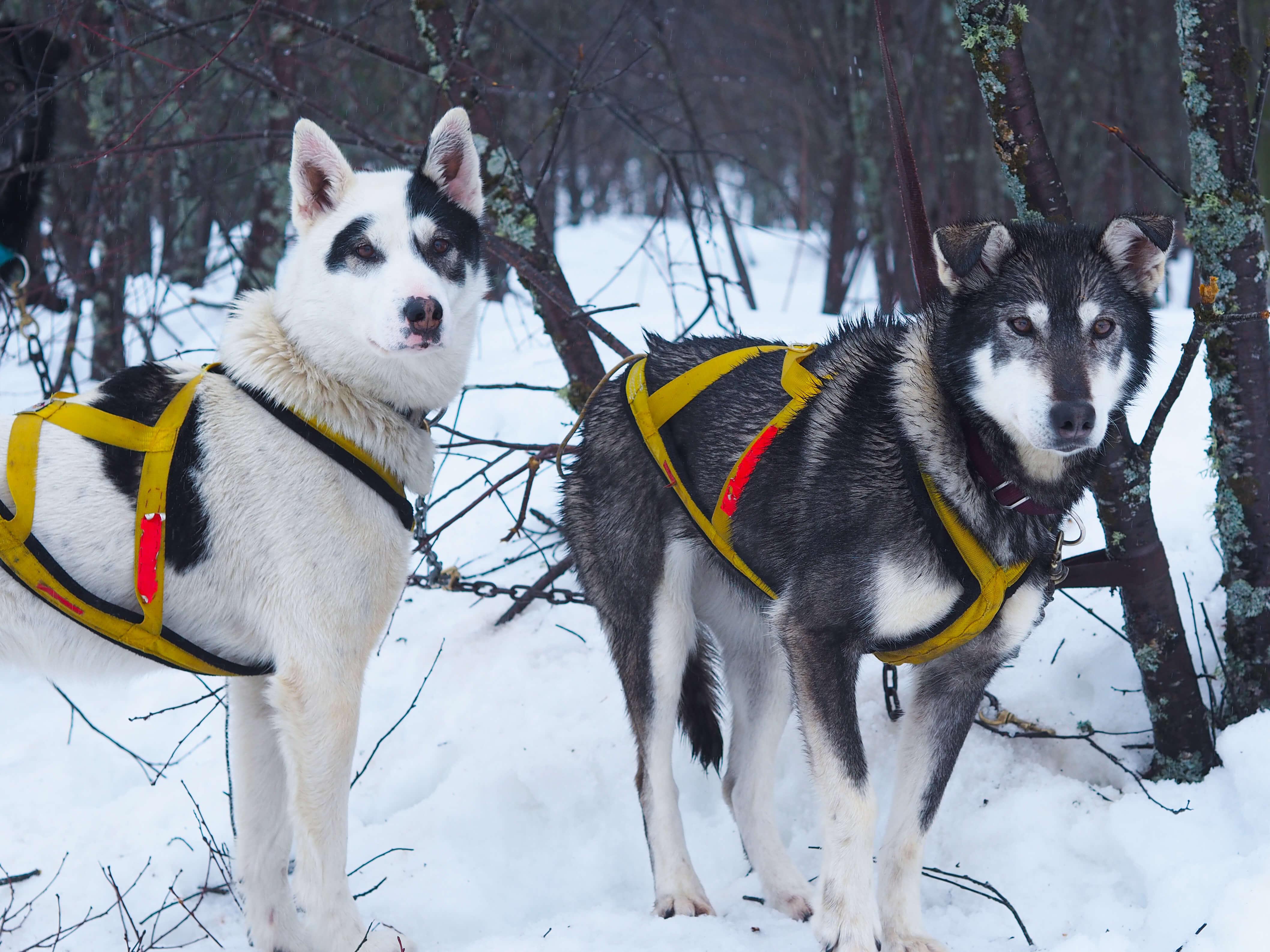 Dog Sledding Quebec